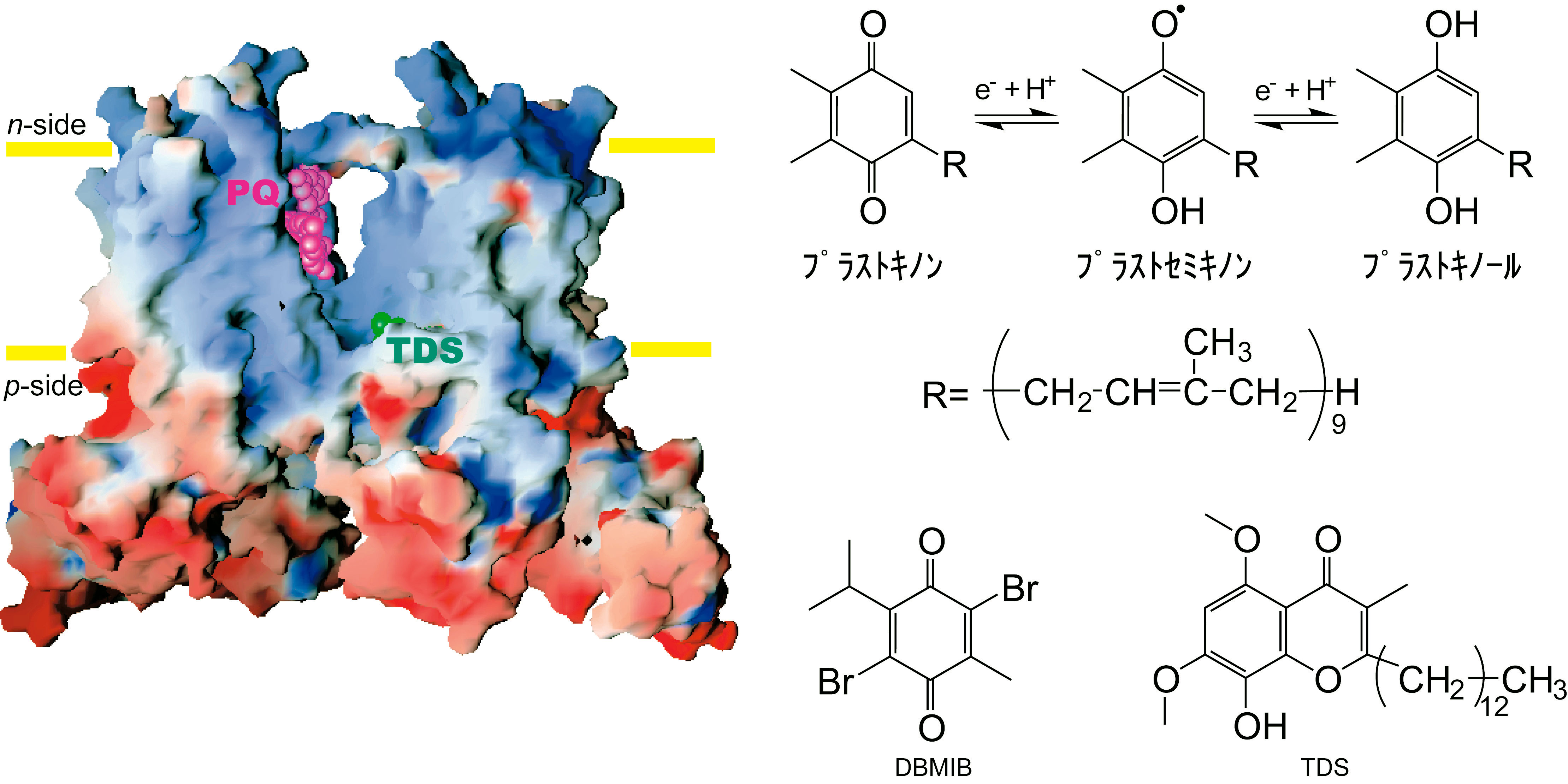 光合成電子伝達で働く巨大分子複...